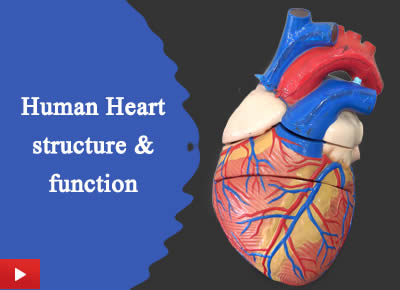 Human Heart structure and function | How human heart works | Heart model